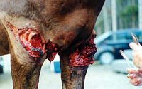 Case 6: Wire Cut - Equine Medical Services in Laporte, CO | Equine ...
